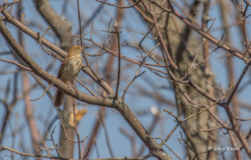 Brown Thrasher, May 12 2014, Prince Edward Point, Canon T3i,100-400mm, 1/1250, F7.1,ISO200