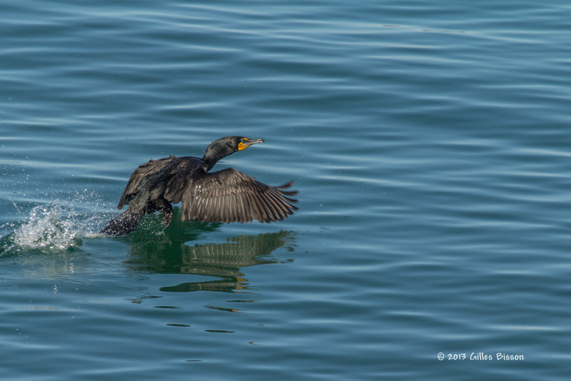 Double-crested Cormorant, Prince Edward Point, May 04 2013,#8181