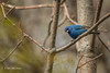 Indigo Bunting, Prince Edward Point, May 13 2013, #8517