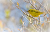 Yellow Warbler, Prince Edward Point, May 10, 2017, Canon 7D Mark II, 400mm,1/1250, F7.1, ISO 250