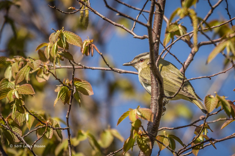 Red-eyed Vireo, May 16 2013, Prince Edward Point, #9161