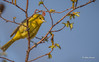 Scarlet Tanager,Female,May 12 2014,Prince Edward Point, Canon T3i,100-400mm,1/1250,F5.6,ISO400