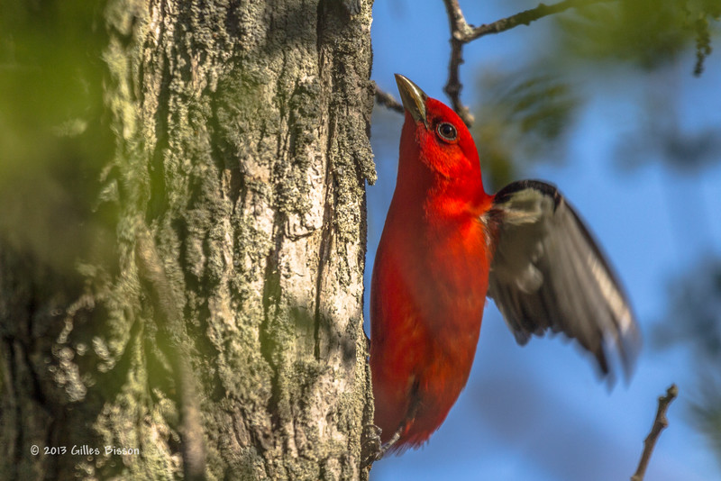 Scarlet Tanager, prince Edward Point, May 16 2013, #9056