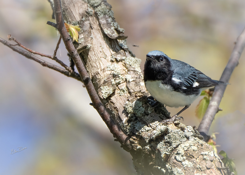Black-throated Blue Warbler, May 14, 2021, Sony A7RIV, 100-400mm, 1.4X, 1/1250, F8.0, ISO 800