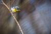 Northern Parula, Prince Edward Point, March 15,2017, Canon 7D Mark II, 1/1250,F 7.1, ISO 320