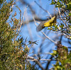 Yellow Warbler, May 12, 2021, Prince Edward Point, Sony A7RIV, 100-400mm, 1.4X, 1/1600, F8.0, ISO 800