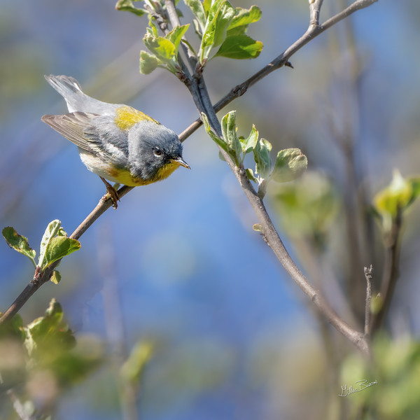 Northern Parula, May 14, 2021, Sony A7RIV, 100-400mm, 1.4X, 1/1250, F8.0, ISO 800, 1/1250, F8.0, ISO 800