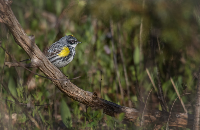 Yellow-Rumped Warbler, Prince Edward Point, May 10, 2017, Canon 7D Mark II, 400mm,1/1250, F7.1, ISO 400