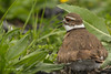 Killdeer, Prince Edward Point, May 13 2013, #8533
