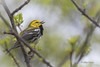 Black-throated Green Warbler, May 16 2015, Prince Edward Point, Canon 7D Mark II, 100-400 mm, 1/1250, F5.6, ISO 800
