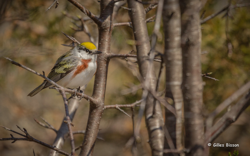 Chestnut-sided Warbler, May 12 2014, Prince Edward Point, Canon T3i, 100-400mm, 1/1000,F7.1,ISO200