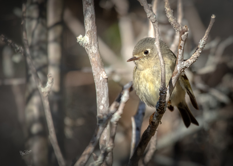 Least Flycatcher, May 08, 2018, Prince Edward Point, Prince Edward County,  Canon 7d MarkII, 100-400mm, 1/1250, F7.1, ISO 500