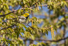 Black-throated Green Warbler, Prince Edward Point, May 16 2013, #9141