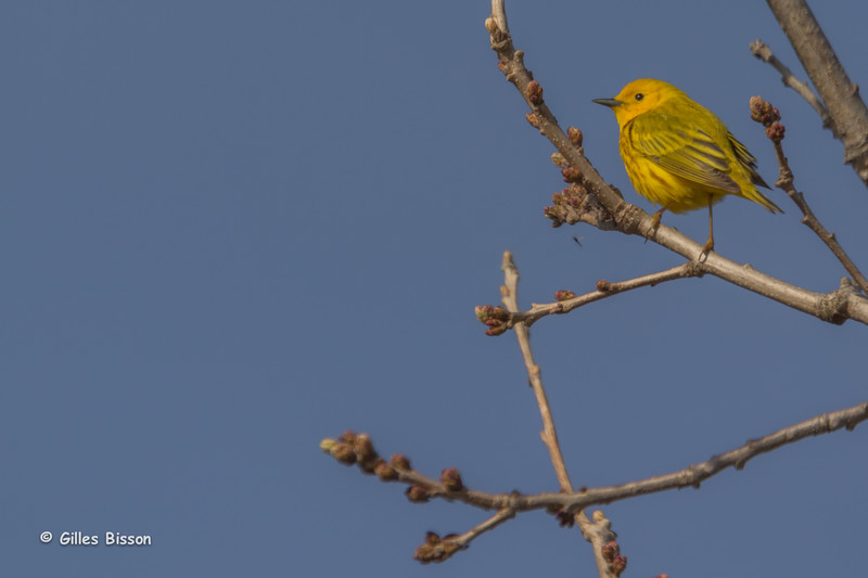 Yellow Warbler, May 12 2014, Prince Edward Point, Canon T3i,100-400mm,1/1000,F7.1,ISO100