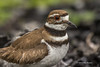 Killdeer, Prince Edward Point, May 13 2013, #8530