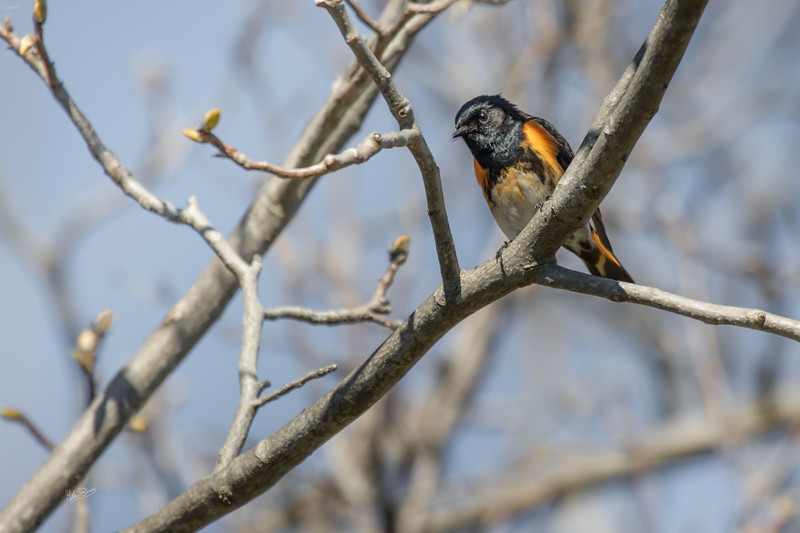 American Redstart, Prince Edward Point , May 15, 2017, Canon 7D Mark II, 1/1250, F7.1, ISO 400