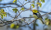 Black-throated Green Warbler, May 14, 2021, Sony A7RIV, 100-400mm, 1.4X, 1/1250, F8.0, ISO 800