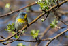 Northern Parula, May 10 2011, Prince Edward Point