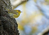 Cape May Warbler, May 14, 2021, Prince Edward Point, Sony A7RIV, 100-400mm, 1.4X, 1/1250, F8.0, ISO 2500
