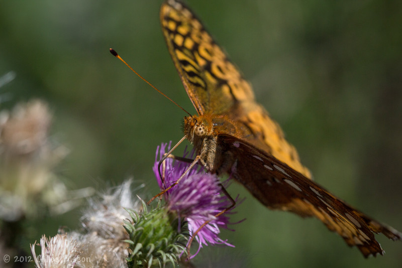 Great Spangled Fritillary Butterfly, August 21 2012, Prince Edward Point, Prince Edward County