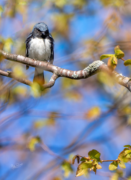 Black-throated Blue Warbler, May 14, 2021, Sony A7RIV, 100-400mm, 1.4X, 1/1250, F8.0, ISO 640