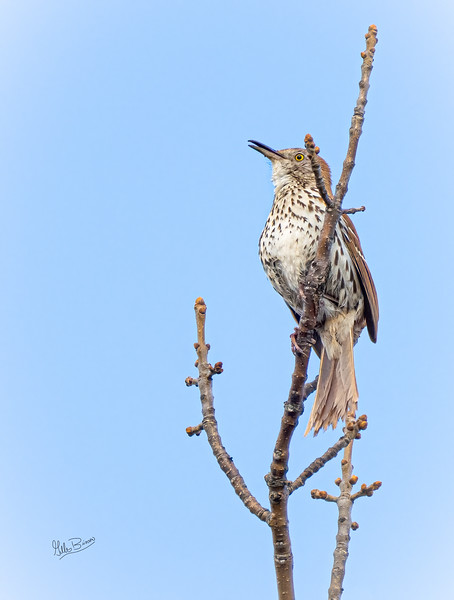 Brown Thrasher,May 09, 2021, Prince Edward Point, Sony A7RIV, 100-400mm, 1.4X, 1/1000, F8.0, ISO 2000