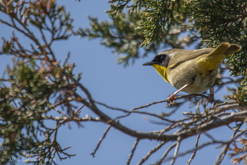 Common Yellowthroat Warbler, May 18 2012, Prince Edward Point