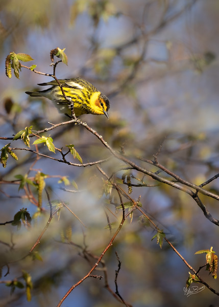 Cape May Warbler, May 12, 2021, Prince Edward Point, Sony AR7IV, 100-400mm, 1.4X, 1/1000,F8.0, ISO 800