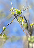 Northern Parula, May 14, 2021, Sony A7RIV, 100-400mm, 1.4X, 1/1250, F8.0, ISO 800