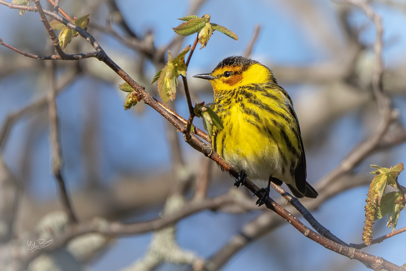 Cape May Warbler, May 12, 2021, Prince Edward Point, Sony AR7IV, 100-400mm, 1.4X, 1/1000,F8.0, ISO 1000