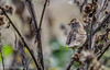 Juvenile White-crowned Sparrow, October 09 2012, Prince Edward Point