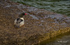 Common Merganser,May 10 2014, Prince Edward Point,CanonT3i, F5.6,ISO400