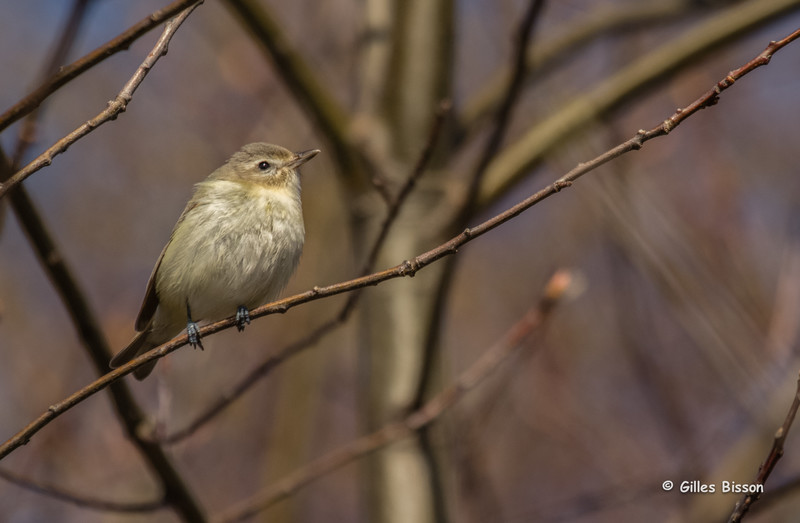 Warbling Vireo, May 12 2014, Prince Edward Point, Canon T3i, 100-400mm,1/1250,F7.1,ISO400