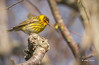 Cape May Warbler, May 12 2014, Prince Edward Point, Canon T3i. 100-400mm,1/1050,F7.1,ISO800