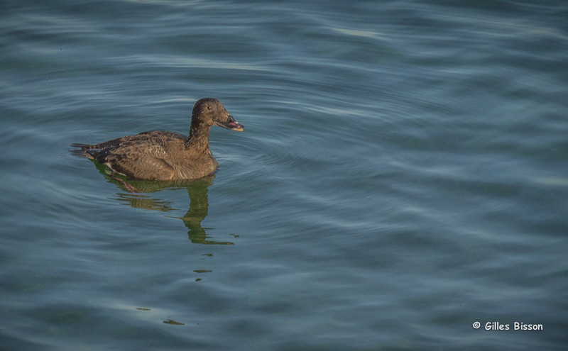 Surf Scoter,Female, May12 2014,Prince Edward Point, Canon T3i,100-400mm,1/1000,F7.1,ISO400