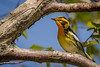 Blackburnian Warbler, Prince Edward Point,May 16 2013, #9330
