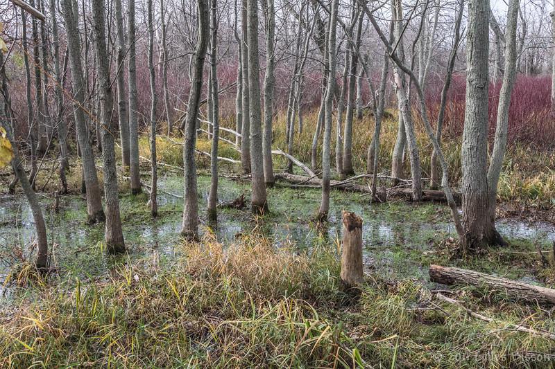 Prince Edward Point swamp, November 18  2011
