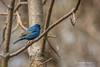 Indigo Bunting, Prince Edward Point, May 13 2013, #8508