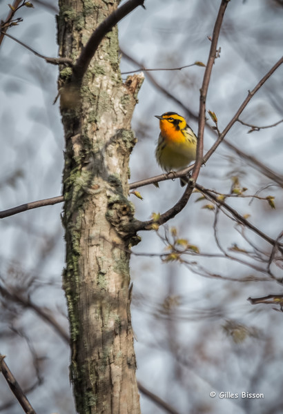 Blackburnian Warbler, May 10 2014, Prince Edward Point, Canon 6D, 1/800, F5.6, ISO500