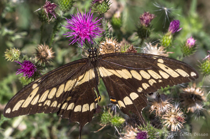 Giant Swallowtail butterfly, August 21 2012, Prince Edward Point