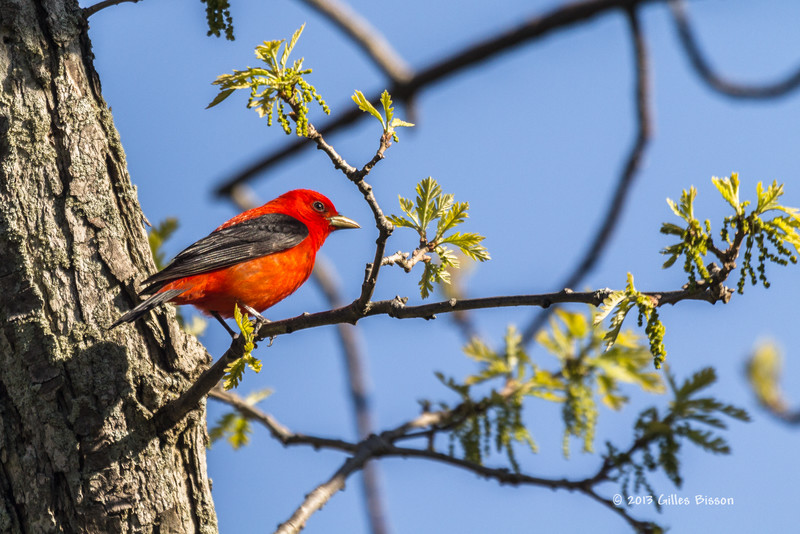 Scarlet Tanager, prince Edward Point, May 16 2013, #9010