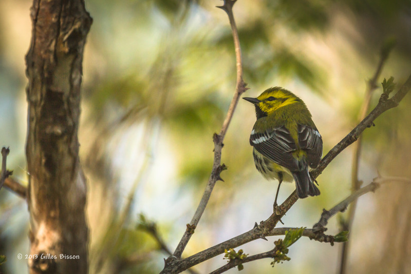 Black-throated Green Warbler, Prince Edward Point, May 16 2013, #9002