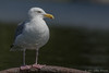 Herring Gull, Aug 27 2011, West Lake
