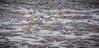 Sanderlings, Sandbanks Provincial Park, Nov 5 2014, Canon 6D, 100-400mm,1/2000,F7.1,ISO800