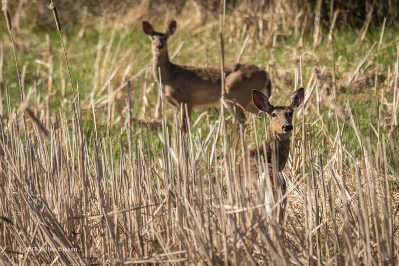 Deer, East Lake, May 07 2013