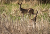 Deer, East Lake, May 07 2013