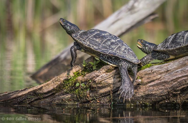 Turtles, May 30 2011, Sandbanks Provincial Park, Outlet River
