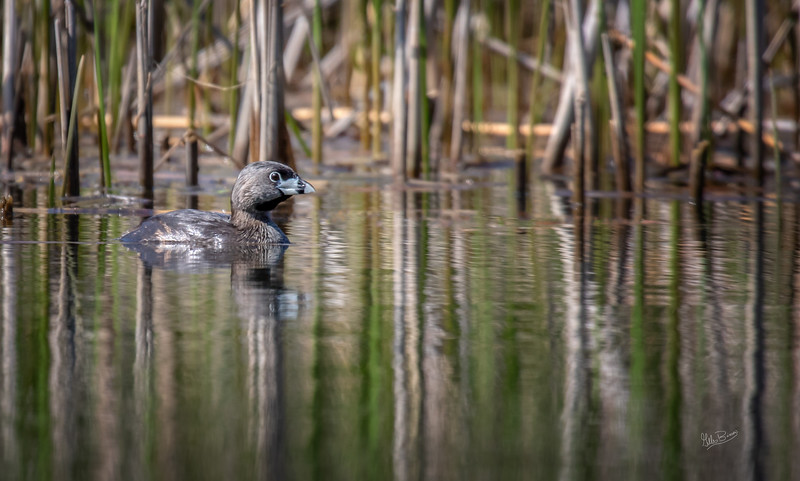 Pied-billed Grebe, May 23, 2018, Sandbanks Provincial Parks, Canon 7D MarkII, 100-400mm,1/1250, F7.1, ISO 400