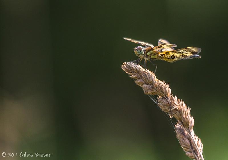 Dragonfly, July 20 2011,Sandbanks Provincial Park
