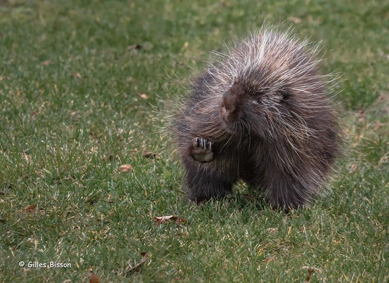 Porcupine, Vanderwater Conservation Area, November 14, 2015, Canon 7D MarkII, 100-400mm, 1/640, F7.1, ISO 1000